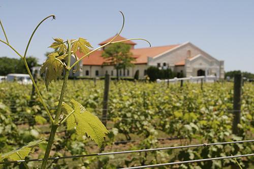 Vineyard on Long Island, NY.