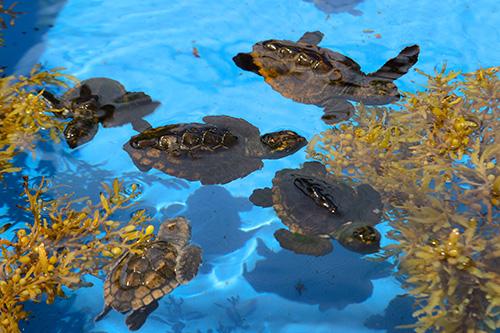 LGS-Journal-Spring16-Sea-Turtles