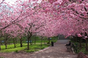 1387465_the_beauty_of_cherry_blossoms