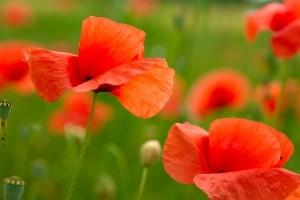 1404828_poppies_in_field
