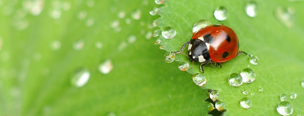 Lady Bug Release