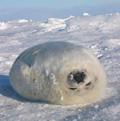 A whitecoat harp seal photographed by Linnea Pearson.